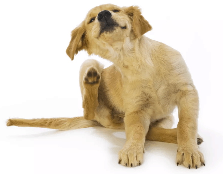 Dog Itchy Skin Coconut Oil