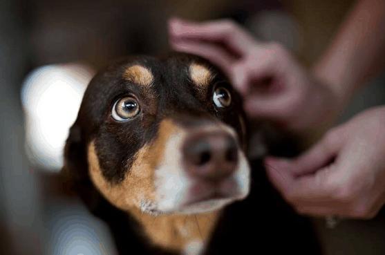 How do you know if a dog has fleas?