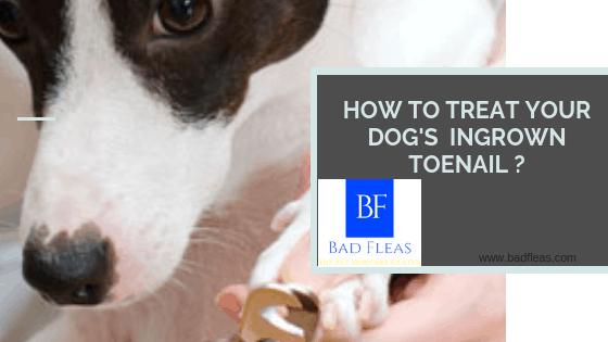 HOW TO TREAT YOUR DOG'S INGROWN TOENAIL ?
