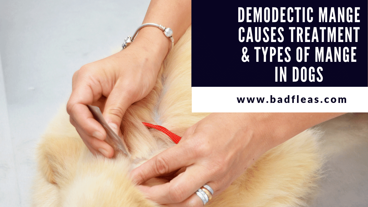 Demodectic Mange Causes Treatment & Types Of Mange In Dogs
