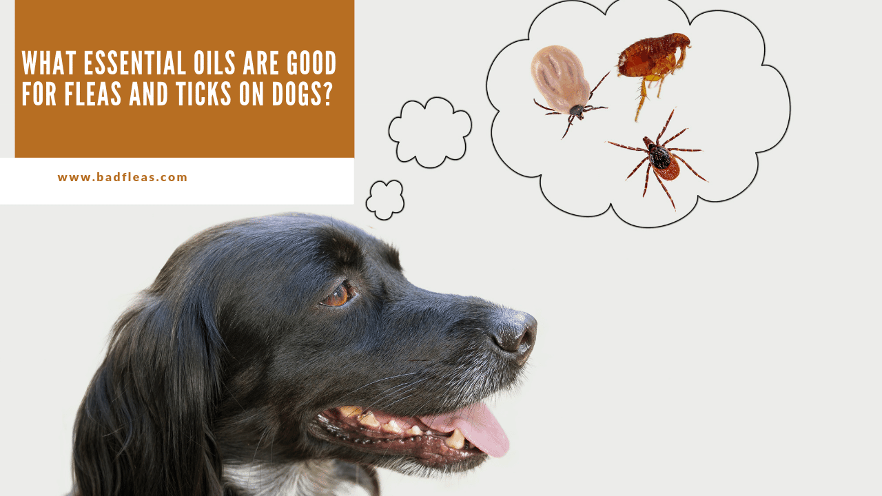 What Essential Oils Are Good For Fleas And Ticks On Dogs?