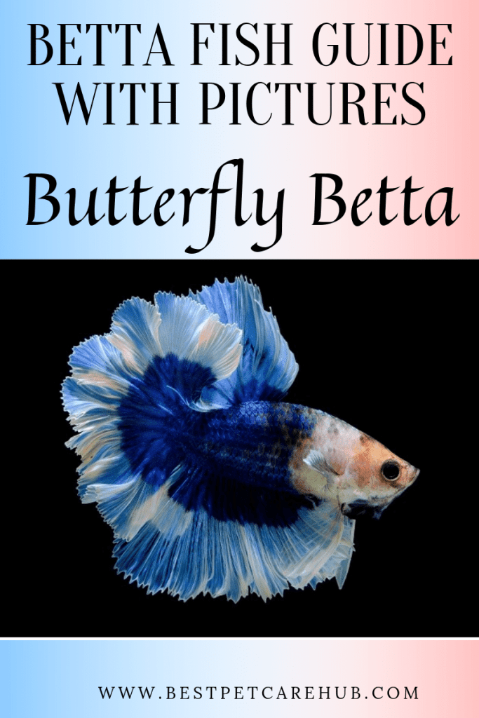 Butterfly Betta Fish