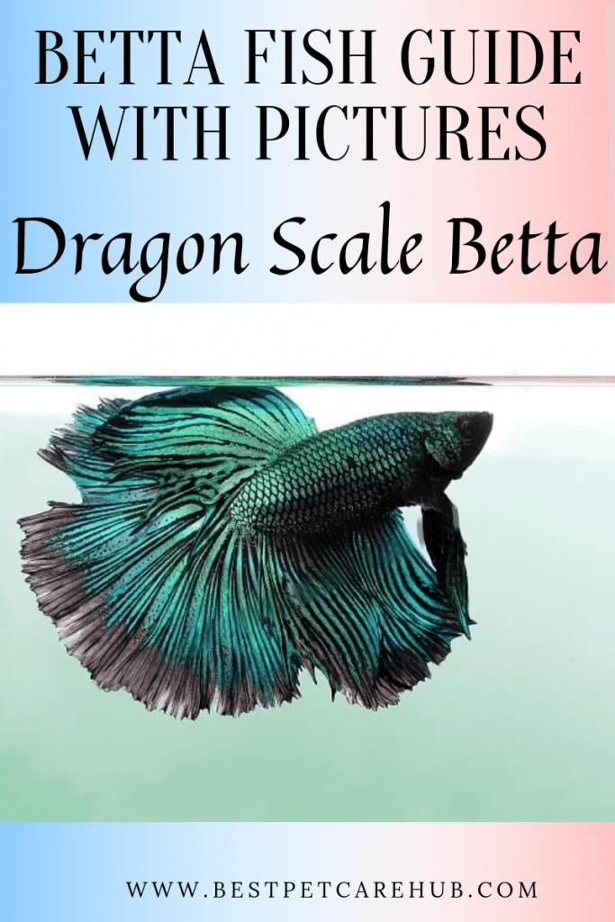 Dragon Scale Betta Fish