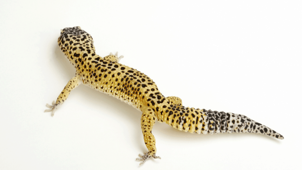Leopard gecko vivarium ideas