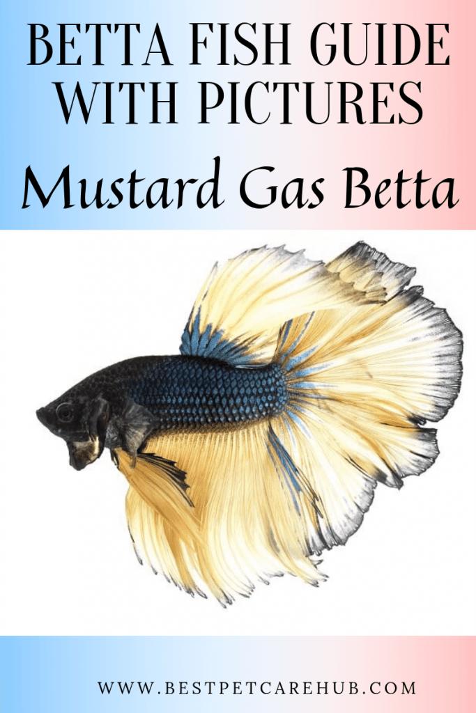 Mustard Gas betta fish
