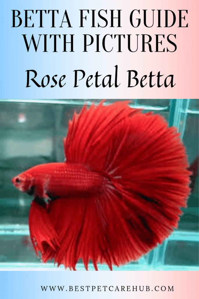 Rose Petal Betta fish