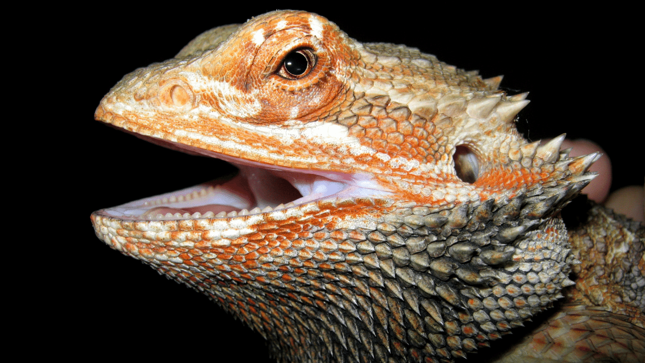 Do Bearded dragons make a good pet